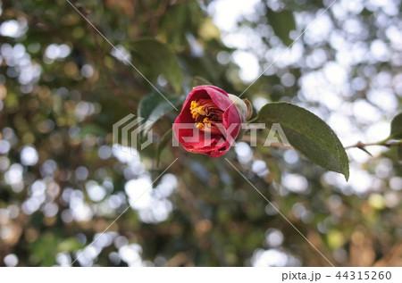 赤い椿の花 44315260