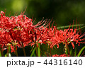 彼岸花 曼珠沙華 地獄花の写真 44316140