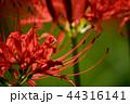 彼岸花 曼珠沙華 地獄花の写真 44316141