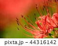 彼岸花 曼珠沙華 地獄花の写真 44316142
