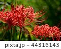 彼岸花 曼珠沙華 地獄花の写真 44316143