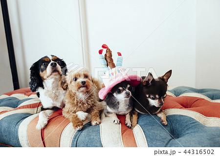 誕生日の犬をお祝いしている犬たち/チワワ、チワプー、キャバリア  44316502