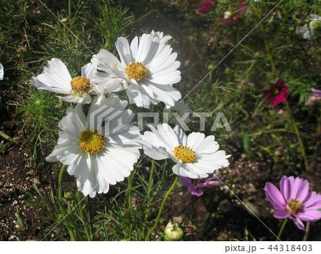 秋桜コスモスの桃色と白色の花 44318403