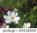 秋桜コスモスの白色の花 44318404