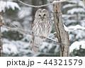 エゾフクロウ 札幌市 44321579