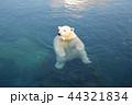 白熊 44321834