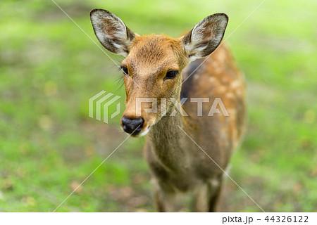 奈良公園の鹿 44326122