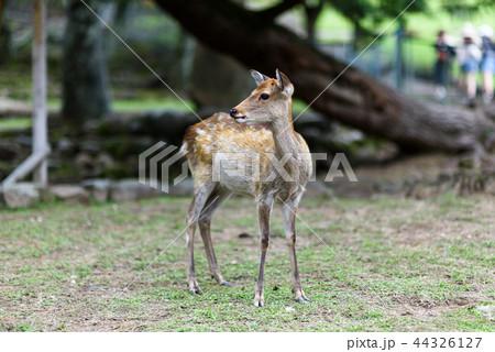 奈良公園の鹿 44326127