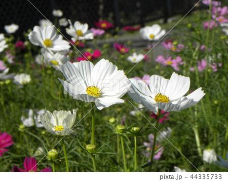 秋の花コスモスの白い花 44335733