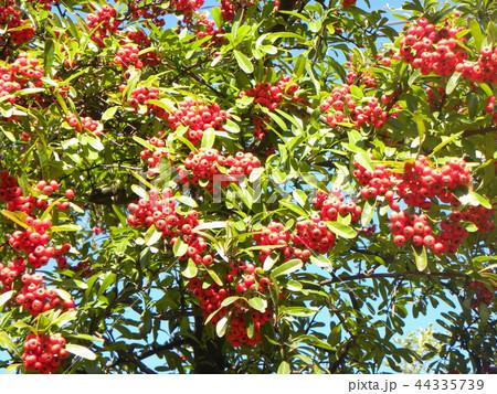 真っ赤な実をつけた秋のピラカンサス 44335739