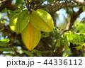 ゴレンシ 五歛子 スターフルーツの写真 44336112