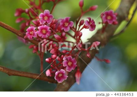 自然 植物 スターフルーツ、石垣島の秋。花と実、両方を楽しめます 44336453