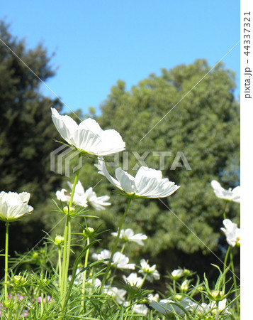 秋の花コスモスの白い花 44337321