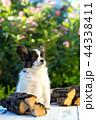 こいぬ 仔犬 子犬の写真 44338411