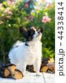 こいぬ 仔犬 子犬の写真 44338414
