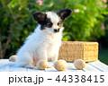 こいぬ 仔犬 子犬の写真 44338415