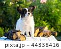 こいぬ 仔犬 子犬の写真 44338416