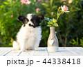 こいぬ 仔犬 子犬の写真 44338418