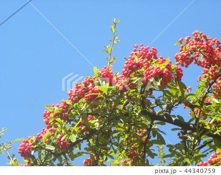 真っ赤な実をつけた秋のピラカンサス 44340759