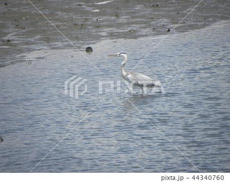 谷津干潟公園のアオシギ 44340760