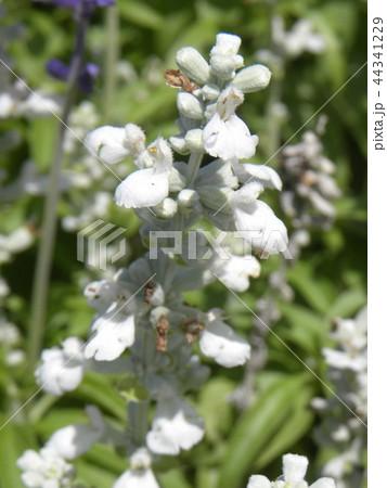 ブルーサルビアの白いr花 44341229