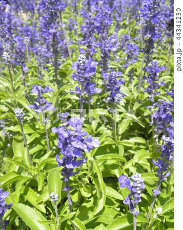 青色の花はブルーサルビアの花 44341230