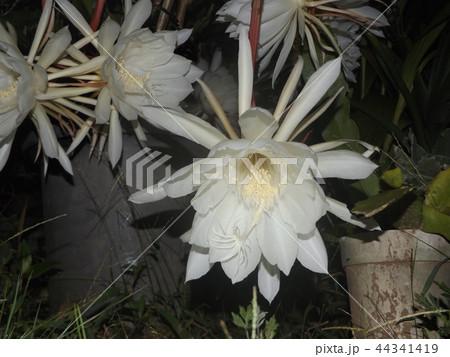 夜大きな白い花を咲かせ夜の内に萎むゲッカビジンの花 44341419