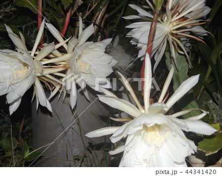 夜大きな白い花を咲かせ夜の内に萎むゲッカビジンの花 44341420