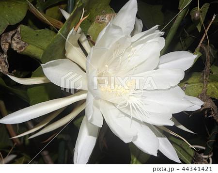 夜大きな白い花を咲かせ夜の内に萎むゲッカビジンの花 44341421