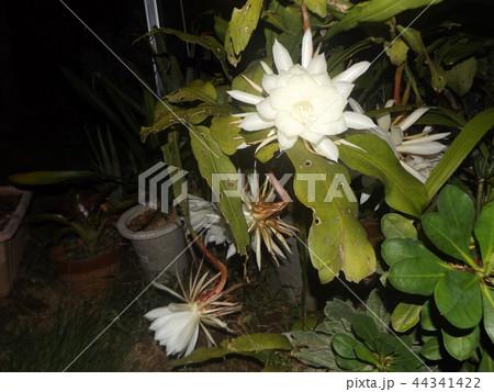 夜大きな白い花を咲かせ夜の内に萎むゲッカビジンの花 44341422