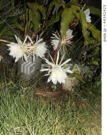 夜大きな白い花を咲かせ夜の内に萎むゲッカビジンの花 44341423