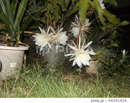 夜大きな白い花を咲かせ夜の内に萎むゲッカビジンの花 44341424