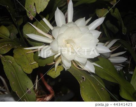 夜大きな白い花を咲かせ夜の内に萎むゲッカビジンの花 44341425