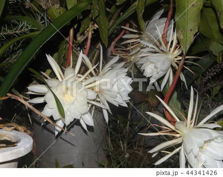 夜大きな白い花を咲かせ夜の内に萎むゲッカビジンの花 44341426