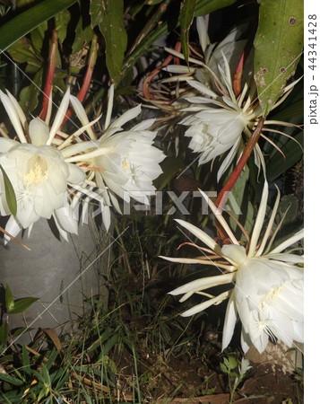 夜大きな白い花を咲かせ夜の内に萎むゲッカビジンの花 44341428