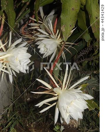 夜大きな白い花を咲かせ夜の内に萎むゲッカビジンの花 44341429