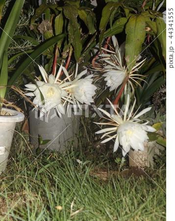 夜大きな白い花を咲かせ夜の内に萎むゲッカビジンの花 44341555