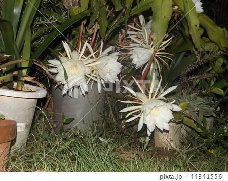 夜大きな白い花を咲かせ夜の内に萎むゲッカビジンの花 44341556