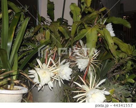 夜大きな白い花を咲かせ夜の内に萎むゲッカビジンの花 44341557