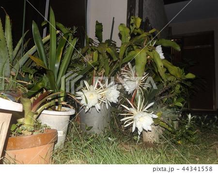 夜大きな白い花を咲かせ夜の内に萎むゲッカビジンの花 44341558