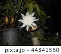 夜大きな白い花を咲かせ夜の内に萎むゲッカビジンの花 44341560
