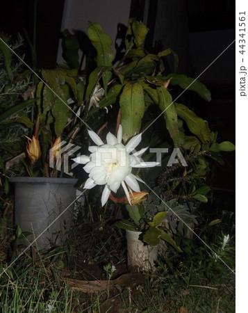 夜大きな白い花を咲かせ夜の内に萎むゲッカビジンの花 44341561