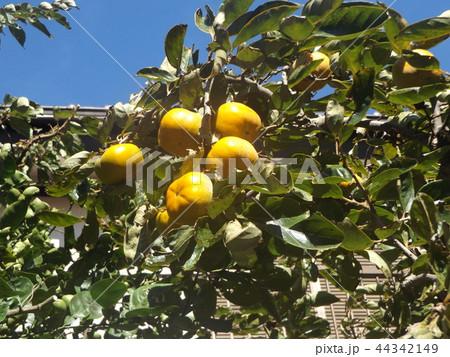 もうすぐ収穫する甘柿の実 44342149