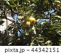 もうすぐ収穫する甘柿の実 44342151