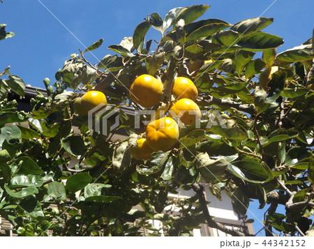 もうすぐ収穫する甘柿の実 44342152