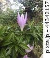 コルチカムと思う紫色の花 44342157