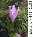 コルチカムと思う紫色の花 44342158