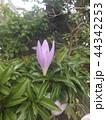 コルチカムと思う紫色の花 44342253