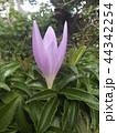コルチカムと思う紫色の花 44342254