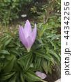 コルチカムと思う紫色の花 44342256